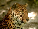 Free Stock Photo: Close-up of a leopard