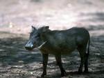 Free Stock Photo: A small warthog