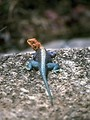 Free Stock Photo: A blue and red lizard on a rock
