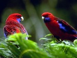 Free Stock Photo: Two red and blue parakeets
