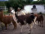 Free Stock Photo: A group of llamas on a farm