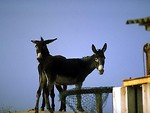 Free Stock Photo: Two dark brown mules on a farm