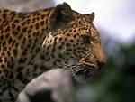 Free Stock Photo: Closeup of a jaguar