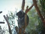Free Stock Photo: A koala bear in a tree