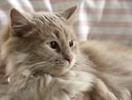 Free Stock Photo: Closeup of a light orange cat