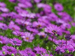Free Stock Photo: Close up of a bunch of purple wild flowers