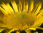 Free Stock Photo: Close up of a yellow flower