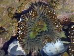 Free Stock Photo: A sea anemone