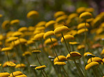 Free Stock Photo: Close up of a bunch of yellow wild flowers