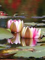Free Stock Photo: Close up of water lilies and lily pads