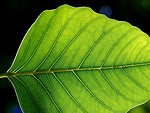 Free Stock Photo: Close up of a green leaf
