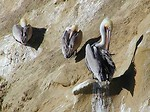 Free Stock Photo: Three pelicans on sitting on rocks