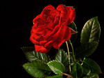 Free Stock Photo: Close up of a red rose on a black black background
