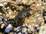 Free Stock Photo: Closeup of a black and yellow crab