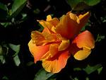 Free Stock Photo: Closeup of an orange flower