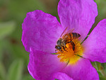 Free Stock Photo: Close up of a bee on a purple flower