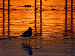 Free Stock Photo: A seagull on the beach at sunset