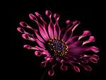 Free Stock Photo: Closeup of a purple flower