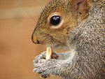 Free Stock Photo: Closeup of a squirrel eating