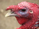 Free Stock Photo: Closeup of a turkey