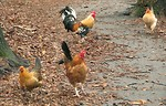 Free Stock Photo: A group of chickens walking on a path