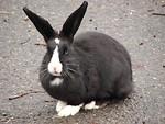 Free Stock Photo: A black and white rabbit