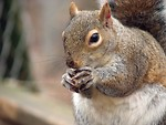 Free Stock Photo: Closeup of a squirrel eating a nut