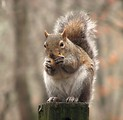 Free Stock Photo: Closeup of a squirrel eating a nut on a fence post