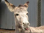 Free Stock Photo: A donkey behind a fence sticking out its tongue