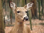 Free Stock Photo: Closeup of a deer in the woods