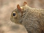 Free Stock Photo: Closeup of a squirrel