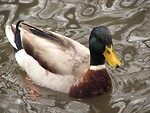 Free Stock Photo: Closeup of a mallard duck swimming in the water