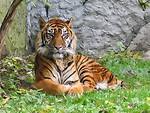 Free Stock Photo: A Sumatran tiger lying in the grass