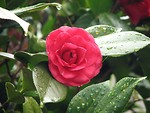 Free Stock Photo: Close-up of a pink camellia flower with rain drops on it