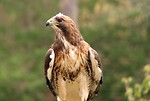 Free Stock Photo: Close-up of a red-tailed hawk