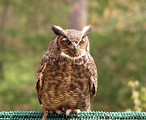 Free Stock Photo: Close-up of a great horned owl