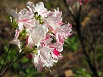 Free Stock Photo: Close-up of a pink and white azalea flower