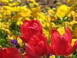 Free Stock Photo: Red tulips with yellow flowers in the background