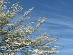 Free Stock Photo: A white flowered tree in front of a blue sky