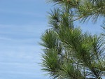 Free Stock Photo: Close-up of a pine tree with a blue sky background