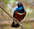 Free Stock Photo: Closeup of a Superb starling perched on a branch