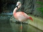 Free Stock Photo: A pink flamingo standing near a small waterfall