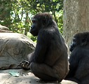 Free Stock Photo: Closeup of two gorillas sitting on a rock
