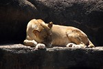 Free Stock Photo: Closeup of a lion sleeping on a rock