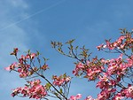 Free Stock Photo: Pink dogwood tree flowers before a blue sky