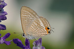 Free Stock Photo: Closeup of a brown peablue butterfly