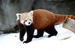 Free Stock Photo: A red panda in the snow