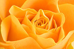 Free Stock Photo: Close-up of a yellow rose