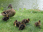Free Stock Photo: A duck and ducklings by a lake