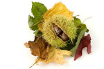 Free Stock Photo: A chestnut conker in its shell with leaves